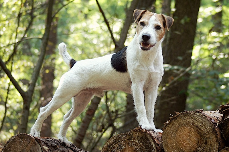 Jack Russell Conquest Limit 001a